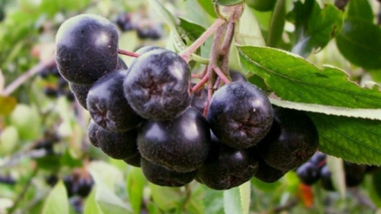 Good crop of aronia berries raises hope to farmers