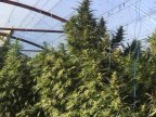 Councilman from Crihana Veche detained for growing cannabis in his garden