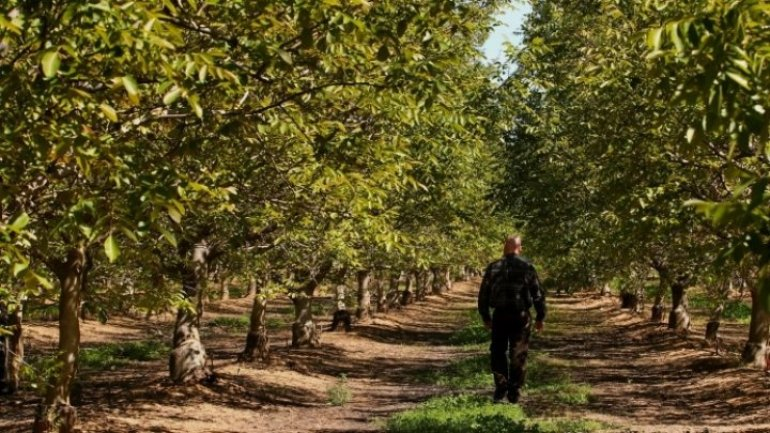 Dozens of Moldovans fined for picking walnuts off roads