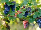 Good news! Moldovan plum and grape exporters eligible to apply for USAID grants