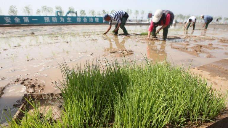 China might feed 200 million people with its new rice that can grow in seawater