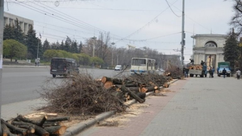 Be careful driver! Felling trees on capital street ceasing traffic