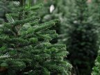 People rushing to purchase fir trees, as Christmas draws near