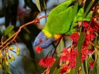 Drunk rainbow lorikeets are having a blast in Australia. Botanic Garden's visitors disturbed by loud noises