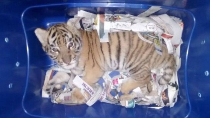 US teenager sentenced after attempting to smuggle a tiger cub across the US-Mexico border