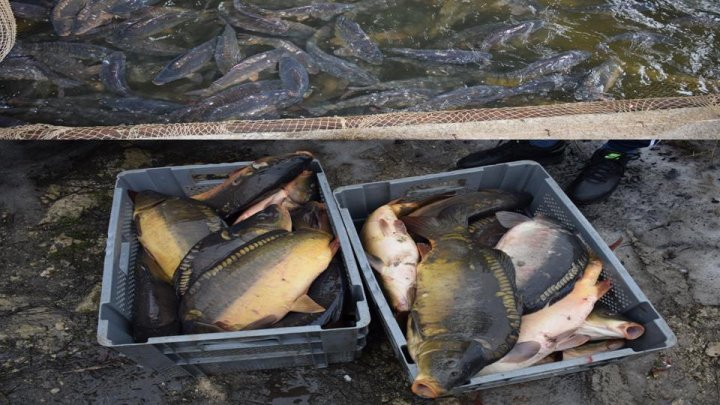 Tons of fish, kept in anti-sanitary conditions, caught in Ialoveni