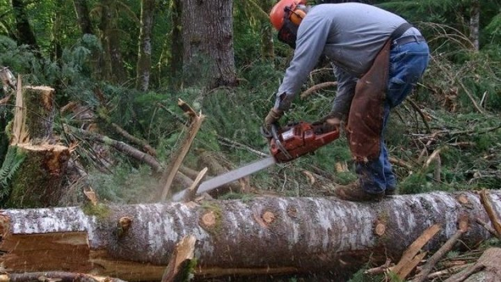 Over 1 300 cases of trees being cut down illegally registered in 2017