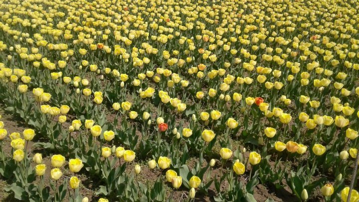 Tulips of Netherlands moved to Moldova, attracted hundreds visitors in Ialoveni