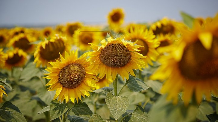 Slight prognoses: Sunflower harvest will be lower by about 30 percent this year