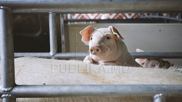 Swine fever found in Romania. Several farms likely closed and animals euthanized