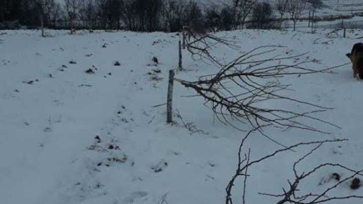 Bad luck for a fruiter from Hancesti district. A half from his orchard was cut down in just one night