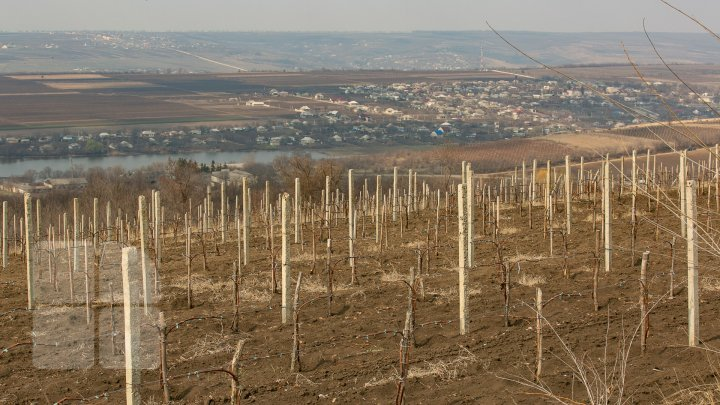 Nisporeni farmers started working in vineyards. They use new technologies (PHOTO REPORT)