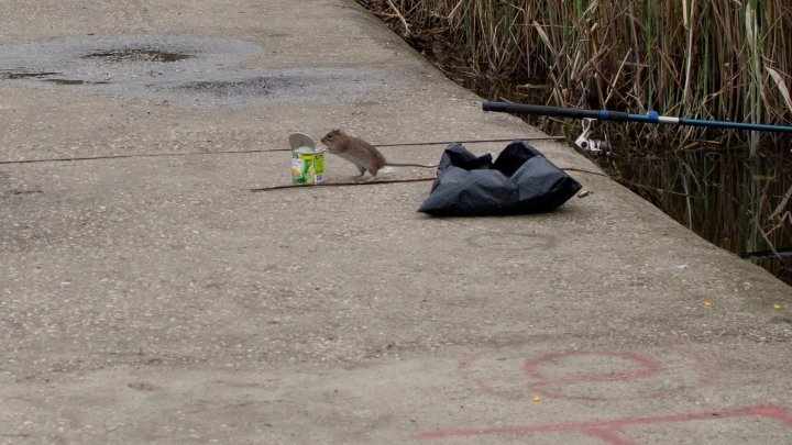 Rat invasion in Valea Morilor park. Why they have to show up and taken by our photographer