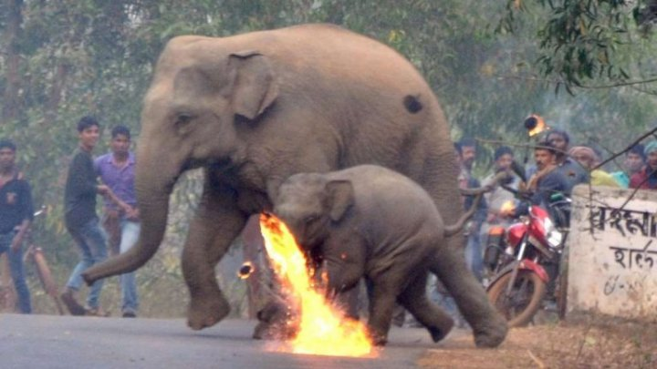 Mother elephant with calf attacked with firebombs as deforestation driven them into a village