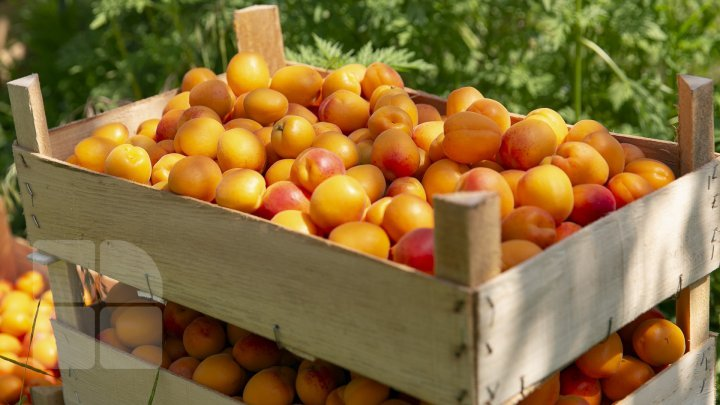 PHOTO REPORT. Peaches harvest is rich this year