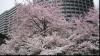 Sakura, sărbătoarea florilor de cireş, a atras milioane de turişti la Tokio