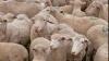 150 de oi dintr-o turmă de 500 au murit după ce au fost lovite de trăsnet în România