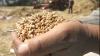 Avem o cantitate suficientă de grâne pentru Republica Moldova, afirmă Iurie Brumărel, şeful direcţiei Ministerului Agriculturii