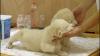 Doi pui de lei albi s-au născut la o grădină zoologică din Belgrad