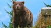Urşii din nordul Rusiei au început să atace mormintele din cimitire