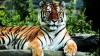 La Sankt-Petersburg are loc primul summit dedicat salvării de la dispariţie a tigrilor