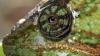 O specie nouă de şopârlă a fost descoperită în meniul unui restaurant din Vietnam