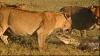 Trei leoaice au omorât un crocodil care a încercat să le atace puiul