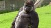 O gorilă, filmată în timp ce mergea ca un om