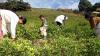 Bolivia vrea legalizarea frunzei de coca