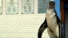 Un pinguin rătăcit a ajuns singur la o secţie de poliţie din Lima