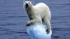 Un urs polar din Alaska a înotat în continuu nouă zile pe o distanţă de 687 de kilometri