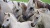 Un politician din SUA vrea să le dea anticoncepţionale cailor sălbatici