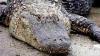 O braziliancă a găsit un aligator în sufragerie, după inundaţiile din regiune