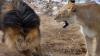 O leoaică s-a luat de leu, după ce acesta s-a jucat brutal cu puii VEZI FOTO