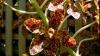 Cea mai mare orhidee din lume a înflorit în Brazilia VEZI FOTO
