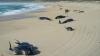 Zeci de balene-pilot au murit într-un golf din Noua Zeelandă