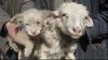China: O oaie a născut un căţel FOTO
