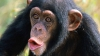 Atenţie! Carne de cimpanzeu ascunsă în produse din miel