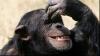 Cimpanzeii râd la glume, chiar şi când nu sunt amuzante