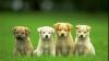 Experimente genetice. Americanii au inventat rase noi de câini