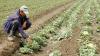 Din cauza ploilor puternice din ultimele zile, recolta oamenilor este compromisă