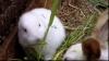 Iepure fără urechi născut lângă Fukushima VIDEO