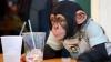 Cimpanzeii sunt animale cu adevărat inteligente VEZI cum au demonstrat
