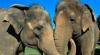 Cercetători scoţieni: Elefanţii comunică la fel ca oamenii