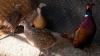 Asociaţia vânătorilor va popula pădurile cu 16 mii de fazani, în acest an