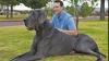 Cel mai înalt câine din lume are peste un metru înălţime, 2 metri lungime şi o greutate de 114 kilograme
