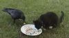 (VIDEO) Prietenie neverosimilă între o cioară şi o pisică