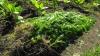 Au plantat porumb, dar a răsărit şi cânepă