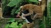 Un leopard a terorizat un sat întreg! 6 oameni au fost răniţi