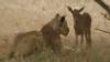 O leoaică îngrijeşte de un pui de căprioară VEZI VIDEO